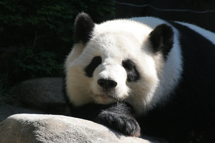 What Are the Predators of the Giant Panda?
