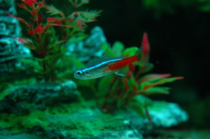 How to Tell if a Neon Tetra Is Going to Lay Eggs?