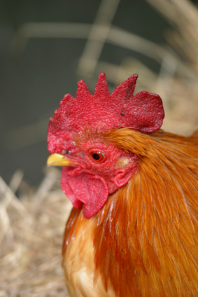 How To Care For Bantam Chickens Ehow Uk