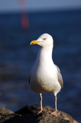 The Seagull's Diet