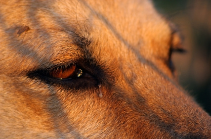 How To Clean Dog Eye Discharge Using Home Remedies Pets