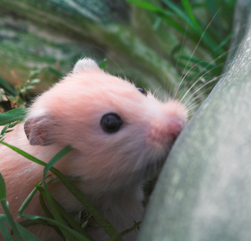 The Gestation of Syrian/Golden Hamster Babies | Animals ...