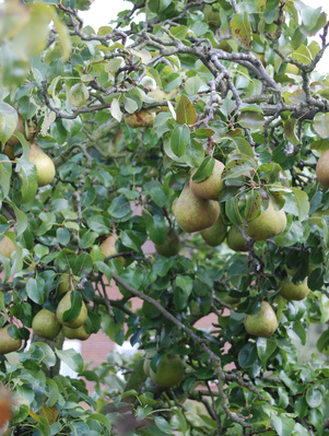 How To Prune Dwarf Pear Trees Ehow Uk