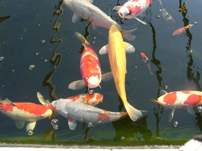 How to Tell If Your Koi Is Pregnant