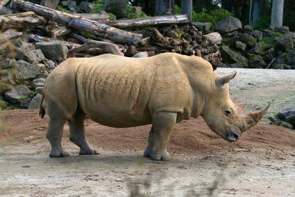 How Do Rhinos Communicate?