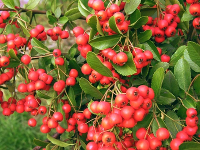 Trees That Bear Red Berries In Winter Garden Guides