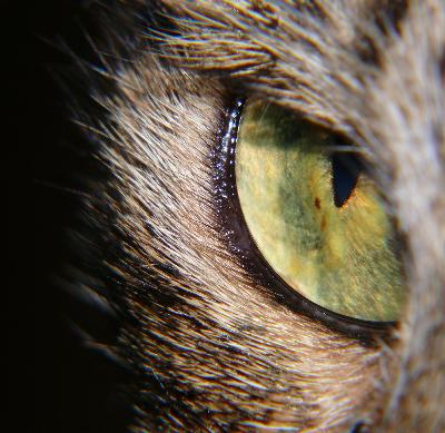 Can Ear Mites In A Cat Cause A Weepy Eye Pets