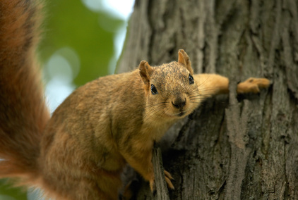 How To Keep Squirrels Out Of My Peach Tree Garden Guides
