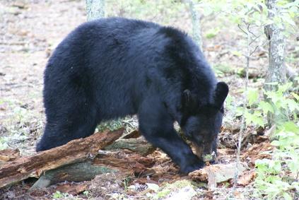 How to Identify Bear Paw Prints