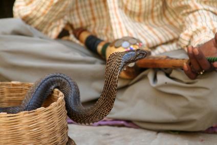 King Cobra Vs. Kingsnake