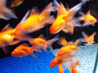 What Types of Goldfish Can Go in the Same Aquarium?