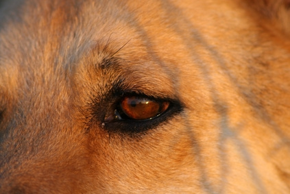 Home Remedies for Conjunctivitis in Dogs