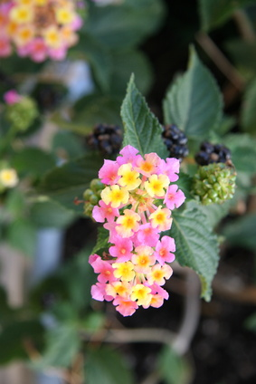 How To Plant Blackberries In Oklahoma Garden Guides