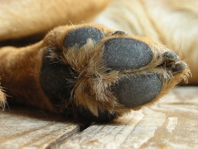 Dog Paw Pad Infection