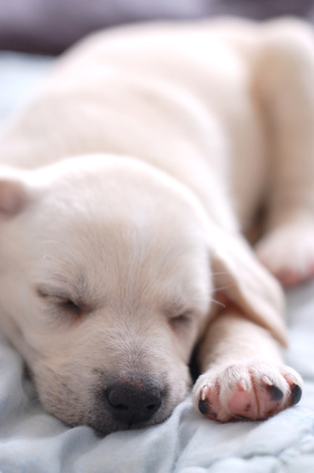 Puppy Symptoms of Fatigue