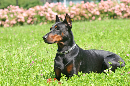 About Blue Doberman Dogs Pets