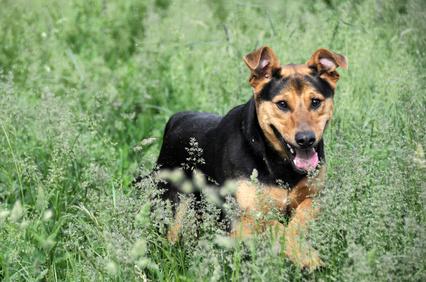 Ivermectin Dogs Demodex