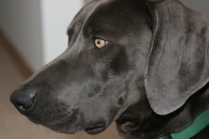Home Remedies for Swollen Ears in Dogs