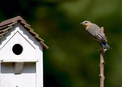 How Far Apart Should Bluebird Houses Be?