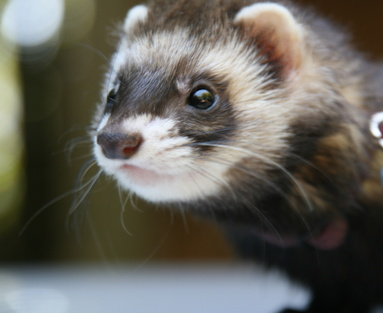 What is the Natural Habitat of a Ferret?
