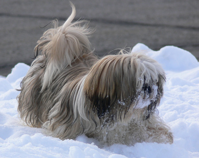 Home Remedies for a Fever in a Shih Tzu Dog