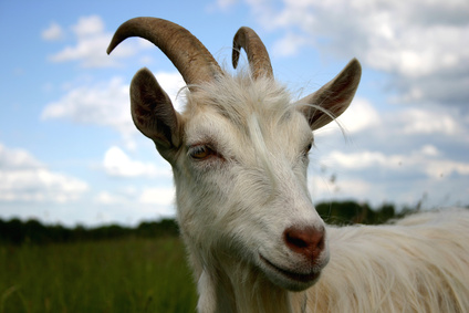 How to Make a Rope Halter for a Goat