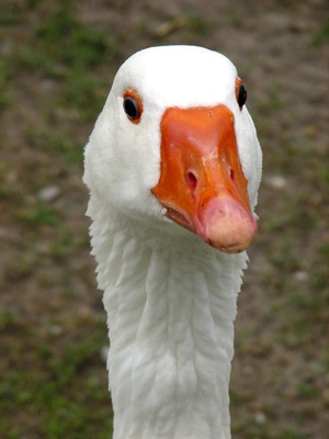 how to tell male or female goose