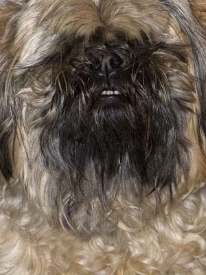 How to Clip Your Shih Tzu