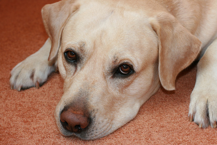 Rimadyl Overdose in Dogs