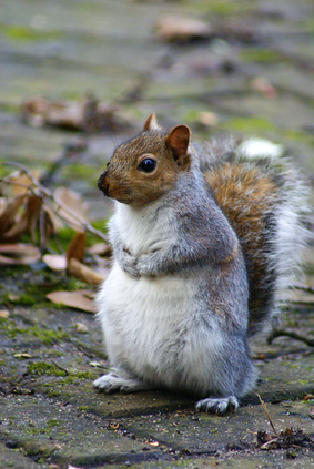 How to Train Gray Squirrels