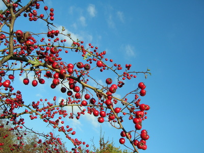 hawthorn tree branch. The hawthorn tree will live