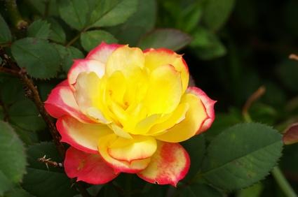 C mo cuidar mini rosales de interior ehow en espa ol for Cuidar hierbabuena en interior