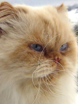 Himalayan Persian Cat Colors Pets