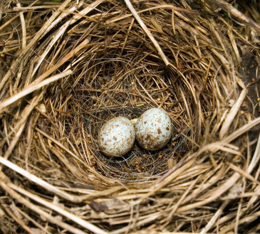 How to Care for a Fallen Bird's Nest With Live Eggs in ...