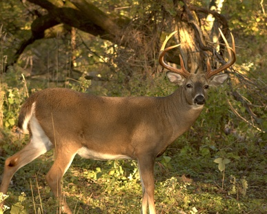 How to Make an Apple Scented Deer Attractant