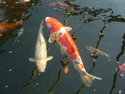How to treat sleeping sickness of koi ehow uk for Koi fish parasites