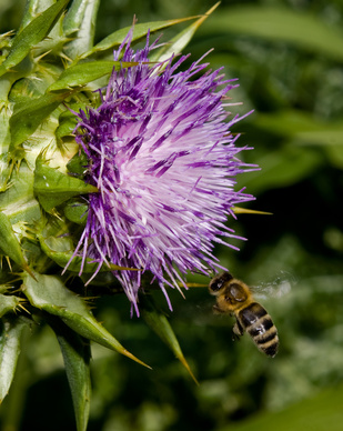 Milk Thistle Herb Uses