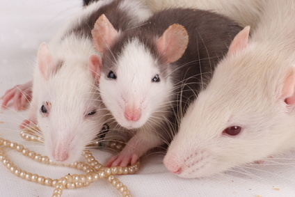 List of the Types of Rodents