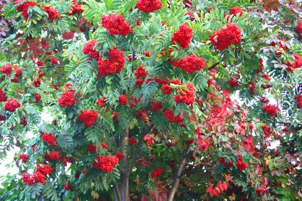 How To Fertilize Royal Poinciana Trees Garden Guides