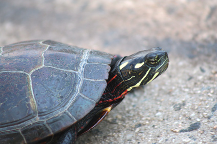 How to Tell the Age of a Painted Turtle