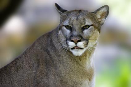 Cougar hunting in florida - 3 6