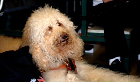How To Comb A Labradoodle Pets