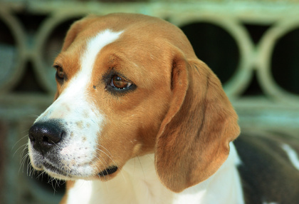 How to care for a beagle with Chinese Beagle Syndrome