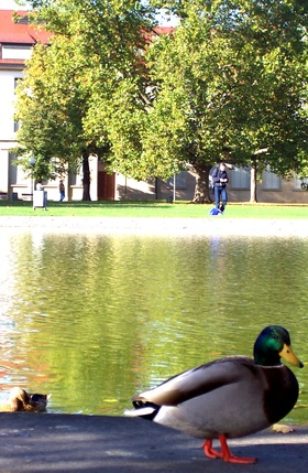 How to Identify the Male & Female of the Rouen Duck