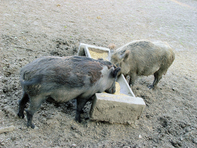 How to Build Pig Pens