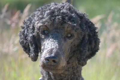 Poodle Weight Does a Poodle Obey Com...