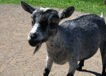 Eye Discharge in a Goat