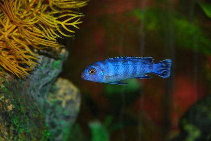 How Fast Do Cichlids Grow?