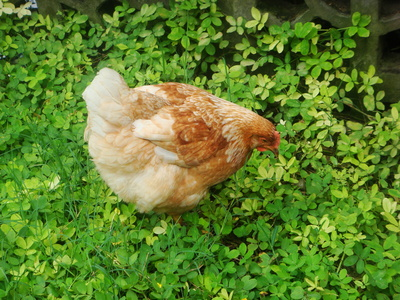 How to Treat Chickens With an Eye Infection