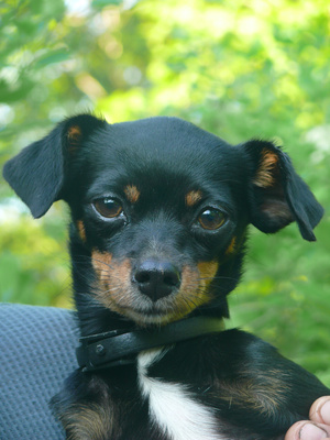 Cephalexin for a Dog's Ear Infection